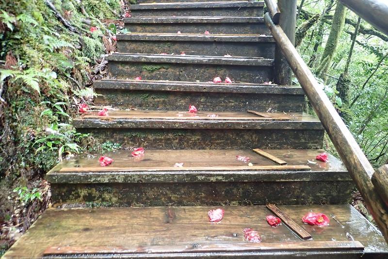 屋久島ヤクスギランドのツバキの花
