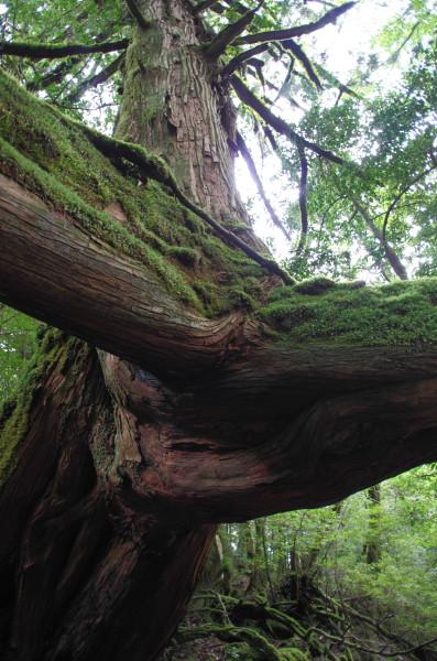 屋久島白谷雲水峡の三本足杉