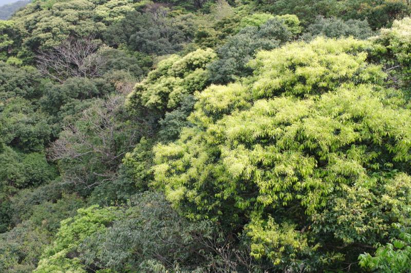 屋久島の新緑、照葉樹林