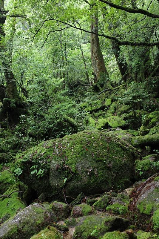 屋久島苔むす森