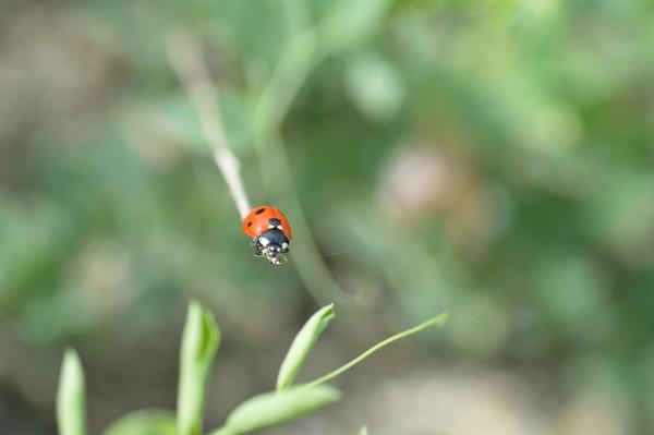 屋久島のいきものてんとう虫