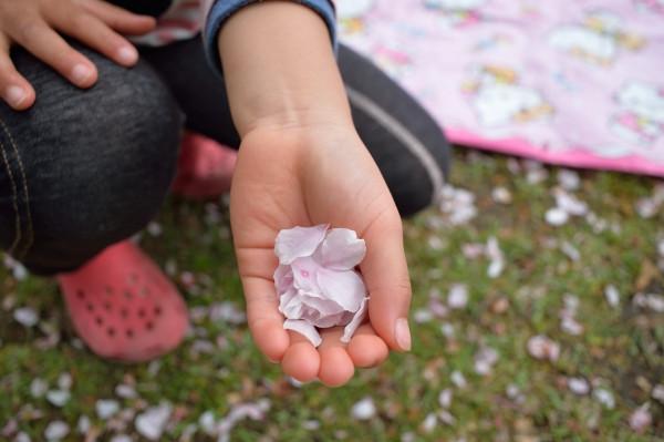 屋久島桜の花びら