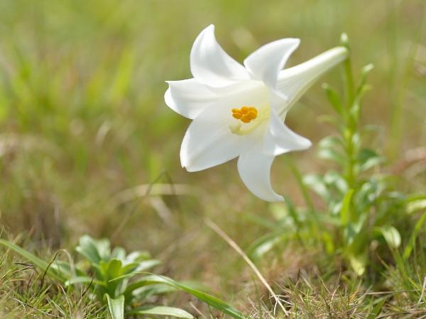 屋久島の植物テッポウユリ