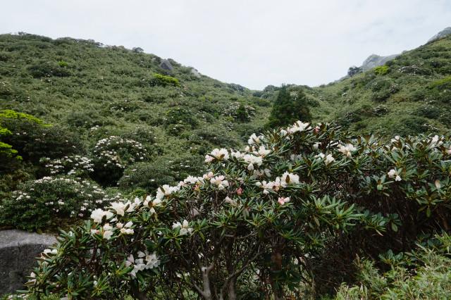 屋久島シャクナゲの開花