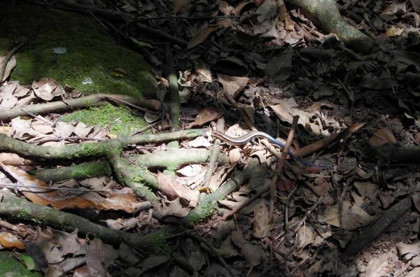 屋久島の生き物ニホントカゲ