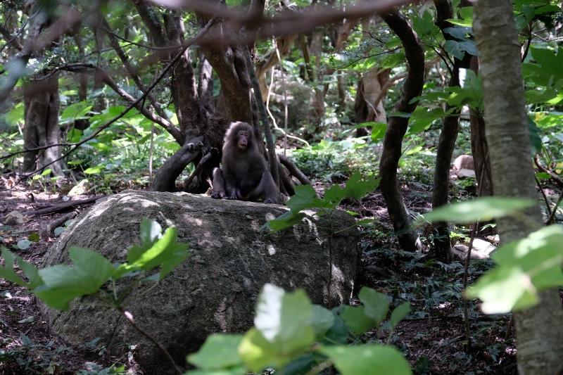 屋久島世界自然遺産の森でヤクシマザル