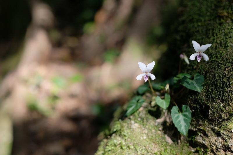 屋久島の植物ヤクシマミヤマスミレ