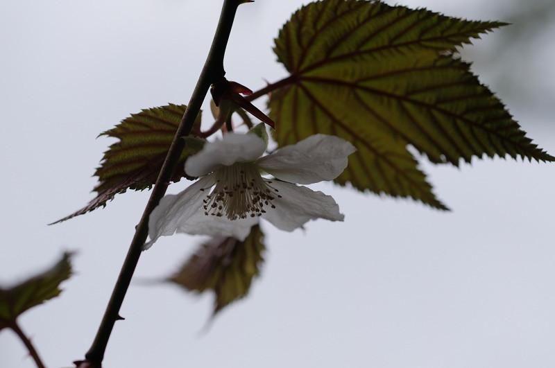 ヤクシマキイチゴ、屋久島の固有種