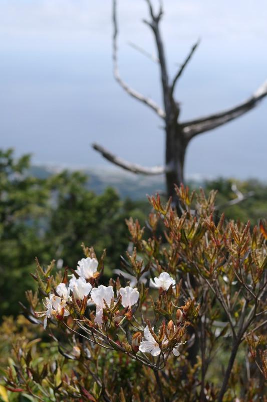 屋久島サクラツツジと白骨樹