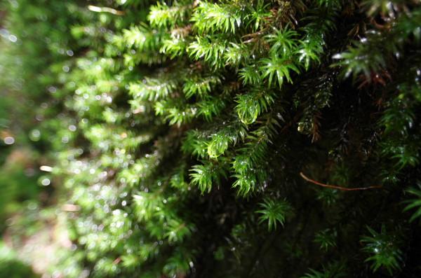 屋久島の苔の雫