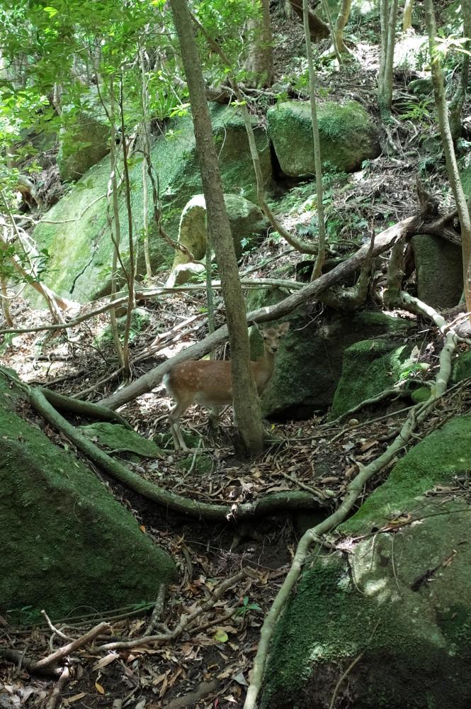 屋久島世界自然遺産の森西部林道のヤクシカ