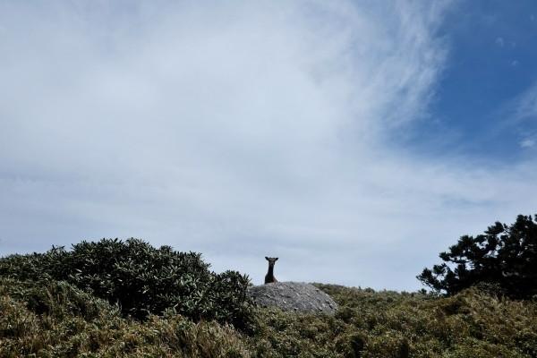 屋久島の鹿