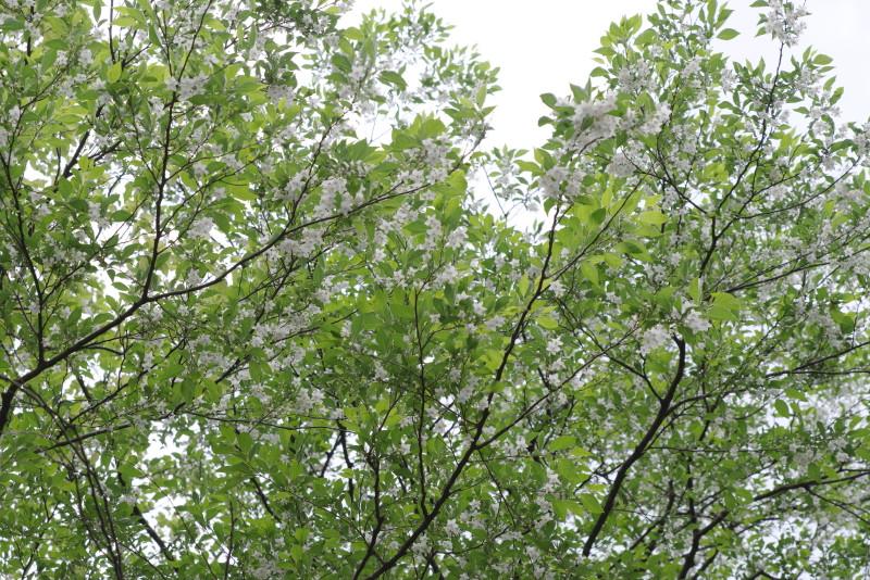 屋久島安房川のエゴノキの花