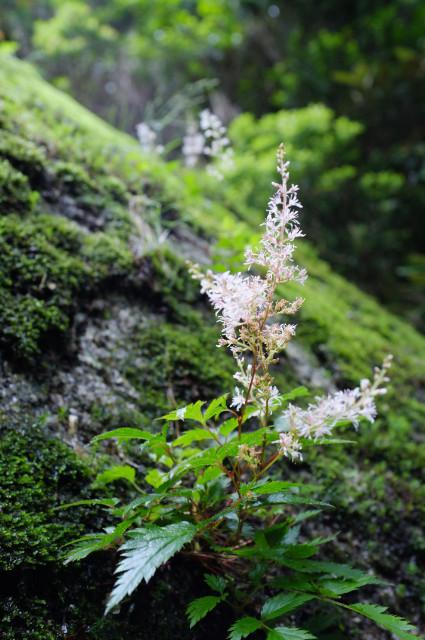 屋久島の高山植物ヤクシマショウマ