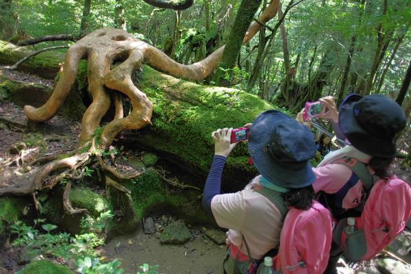 屋久島白谷雲水峡の面白いヒメシャラの樹