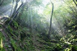 木漏れ日・屋久島白谷雲水峡