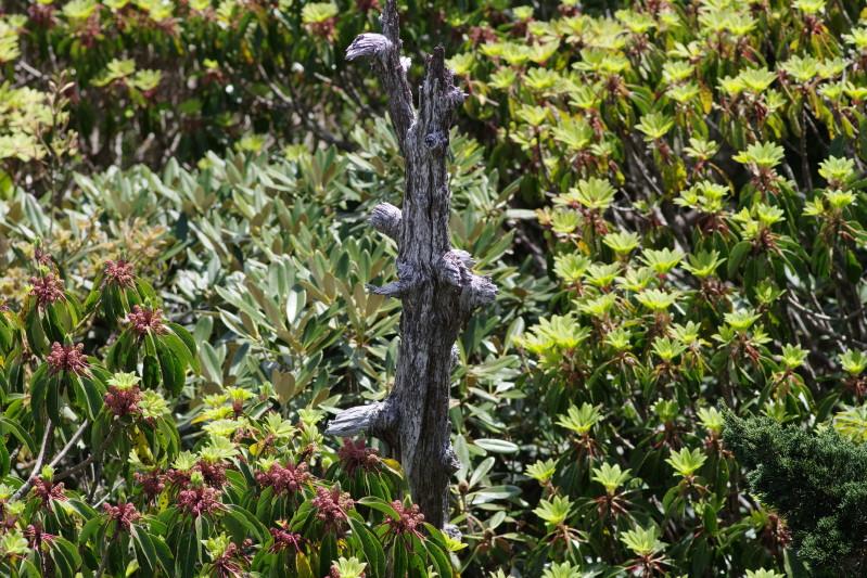 屋久島ユズリハの新緑と白骨樹