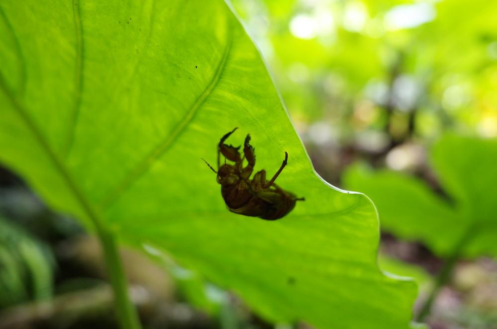 屋久島世界自然遺産の森西部林道の蝉の抜け殻