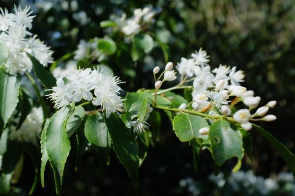 屋久島の植物ハイノキ