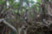 屋久島猿川のガジュマル.jpg