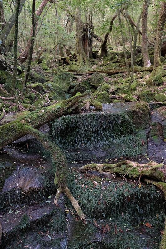 屋久島苔むした森、縄文杉コース