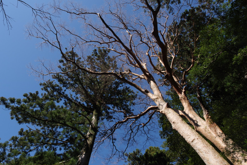 ヤクスギランドのヒメシャラ巨木