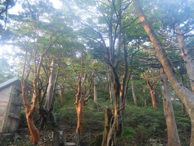 夕暮れの屋久杉の森