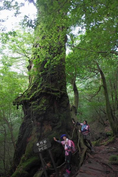 屋久島白谷雲水峡の奉行杉