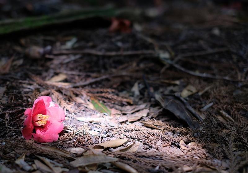 屋久島リンゴツバキの花