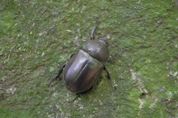 屋久島の生き物カブトムシ