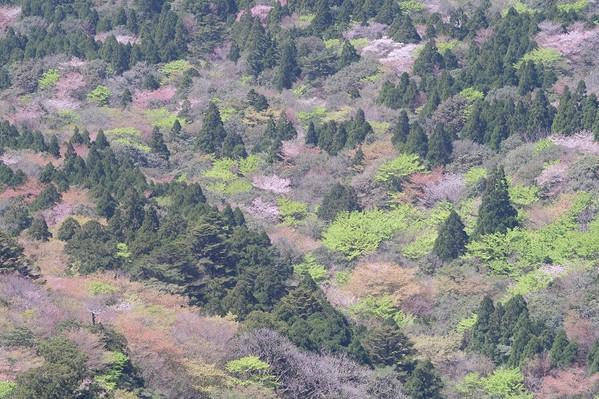 太鼓岩からの新緑とヤマザクラ.jpg