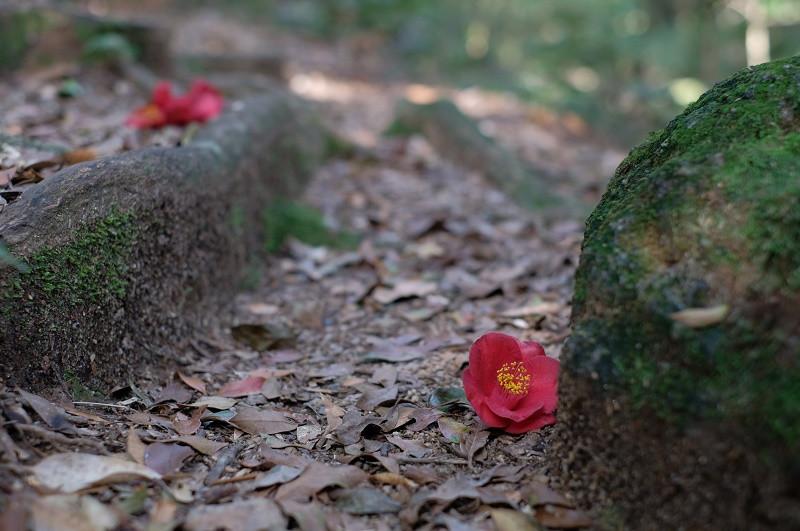 屋久島の植物リンゴツバキ