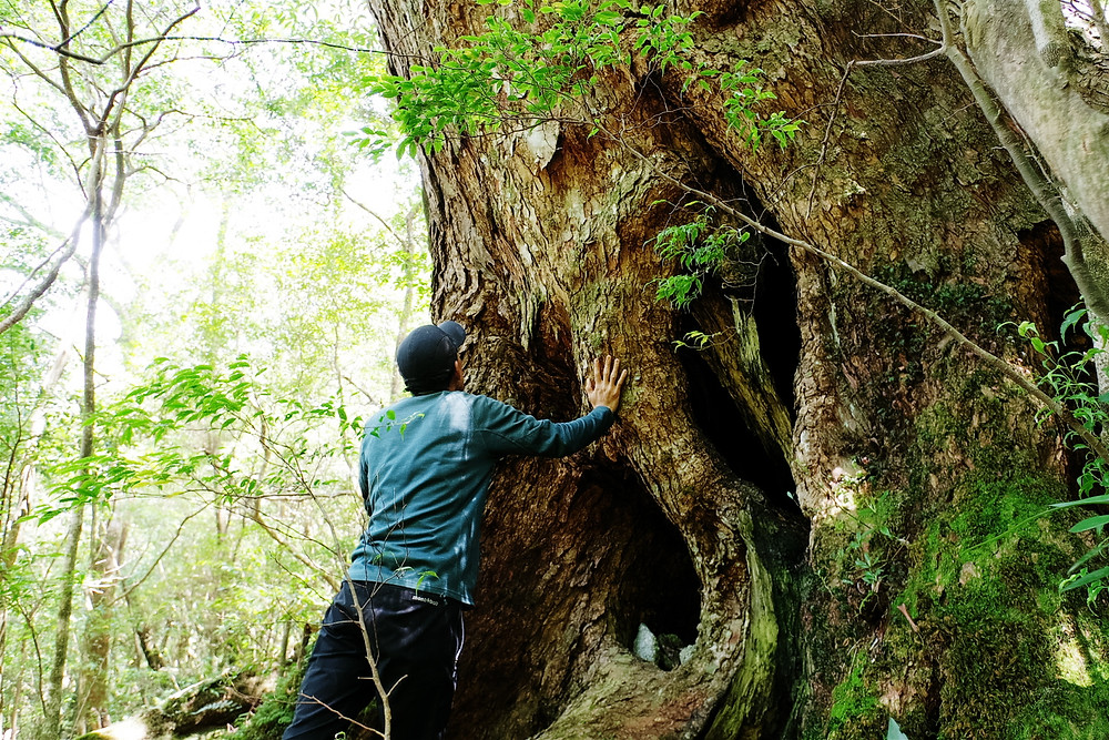 屋久島ツガの大木