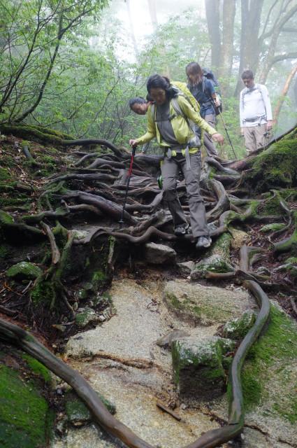縄文杉ルートの根っこ道