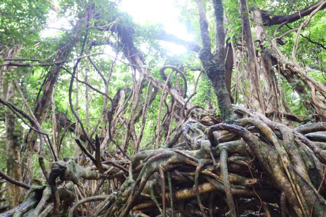 屋久島の植物、猿川のガジュマル