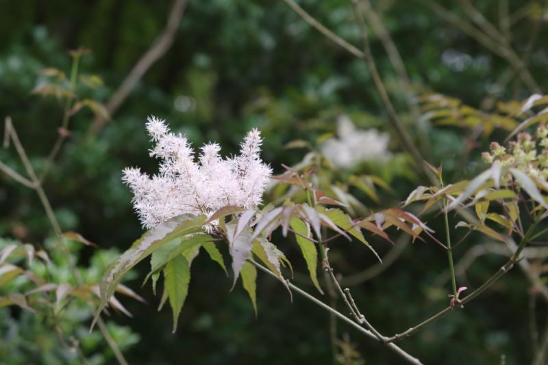 屋久島安房川のアオダモの花