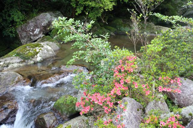屋久島の植物サツキ