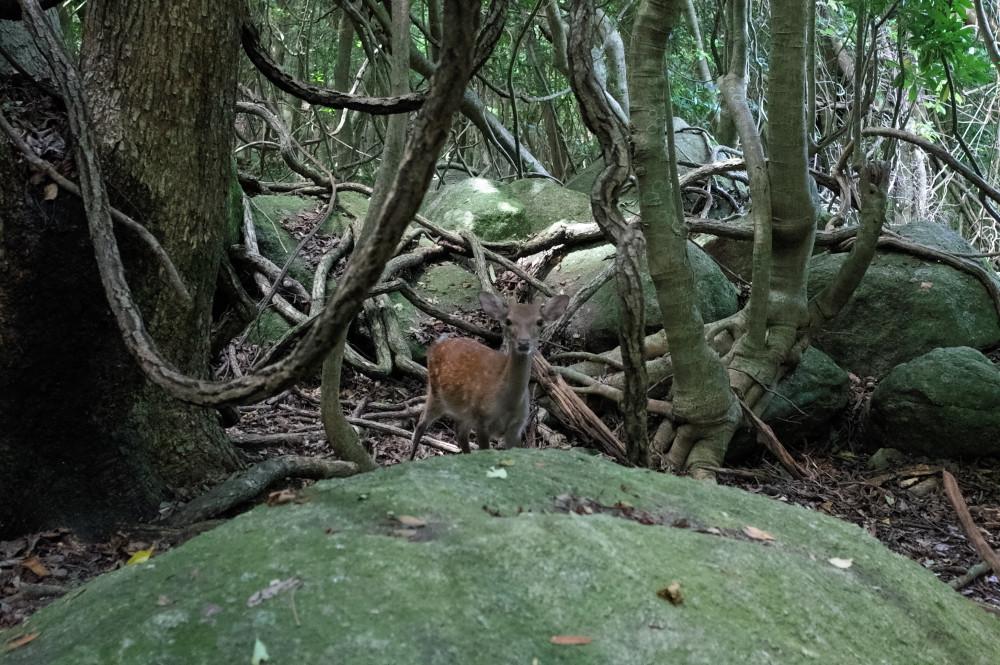 屋久島世界自然遺産の森西部林道ヤクシカ
