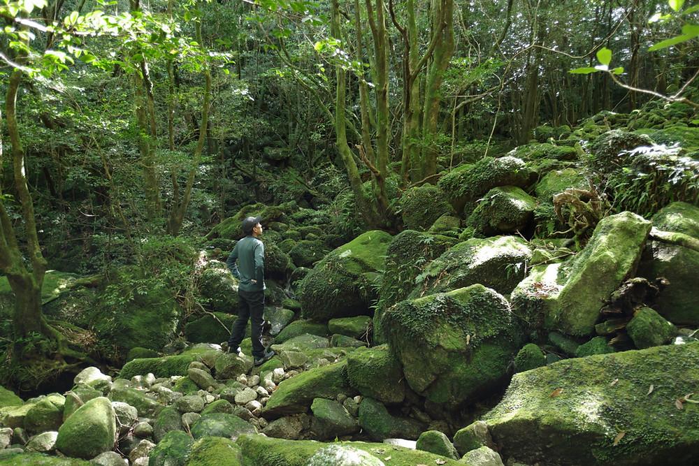 屋久島コケのある森の風景