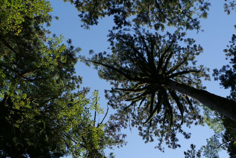 見上げた屋久杉の森