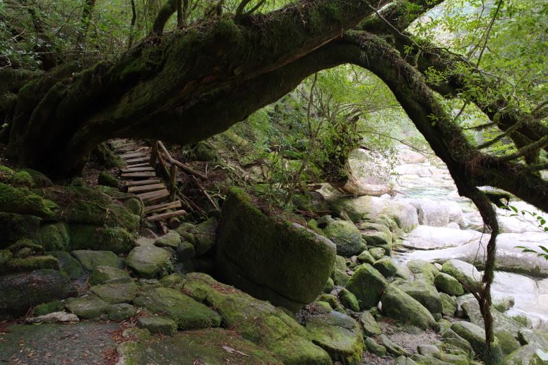 屋久島ヤクスギランドの登山道