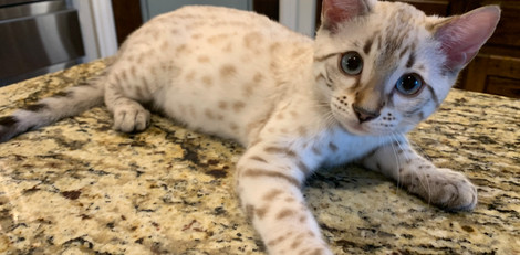 quality snow spot bengal cat texas