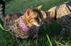 bengal kittens cats jungleboDSC05015