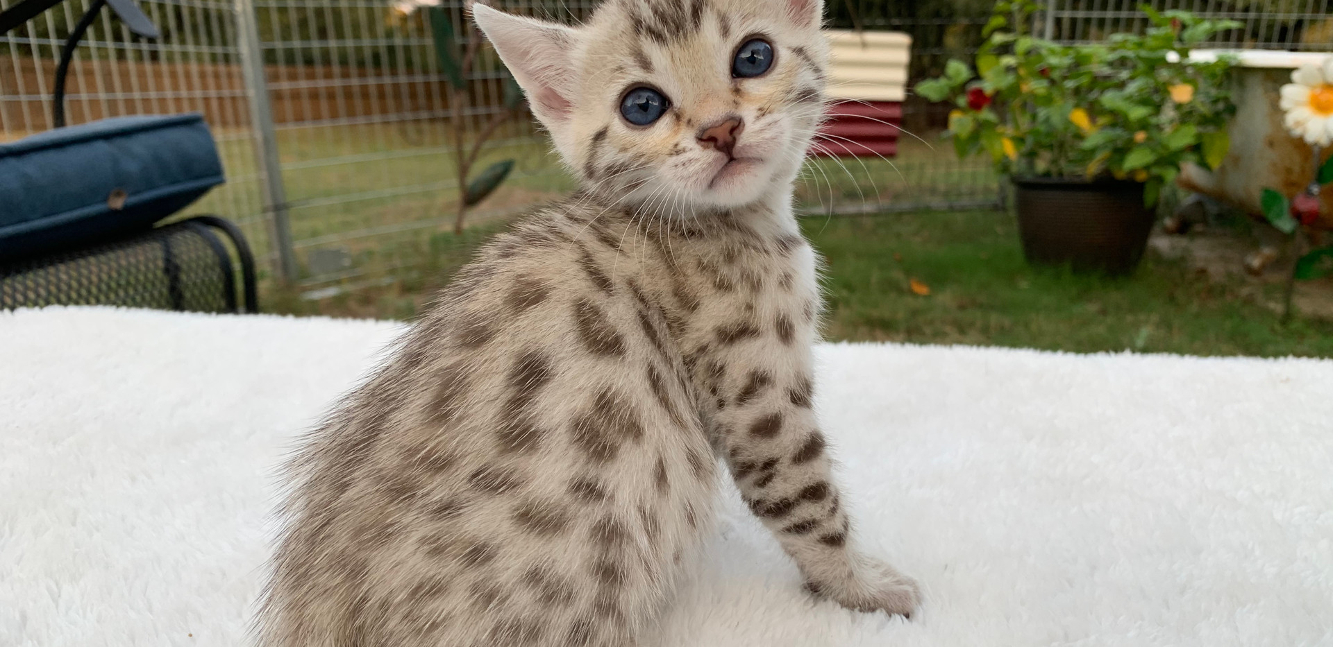 quality spotted sepia bengal kitten cat