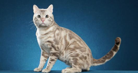 quality bengal cat kitten Texas Dallas
