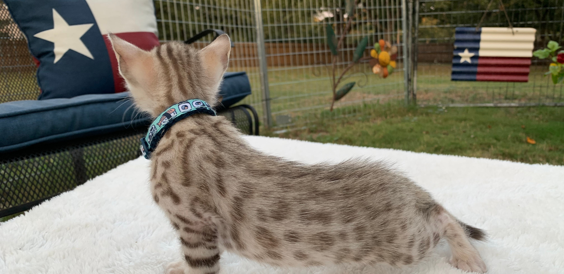 quality bengal kitten cat spotted sepia