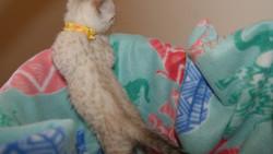 seal lynx point bengal kitten