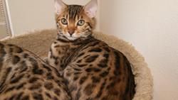 bengal kitten available