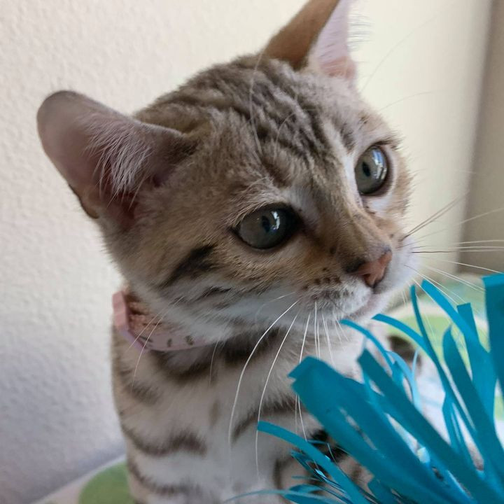 quality bengal kitten cat texas spotted