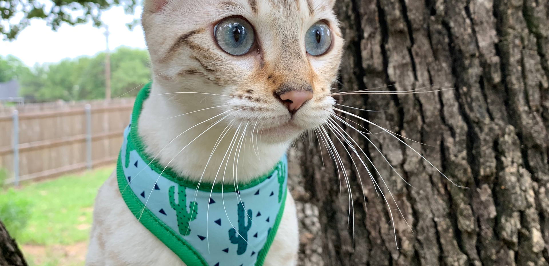 quality snow bengal spot texas